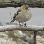 Buchfink(weiblich)