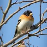 Bergfink(männlich)
