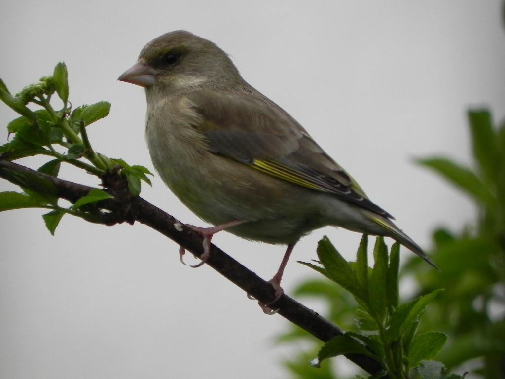 Grünfink(weiblich)