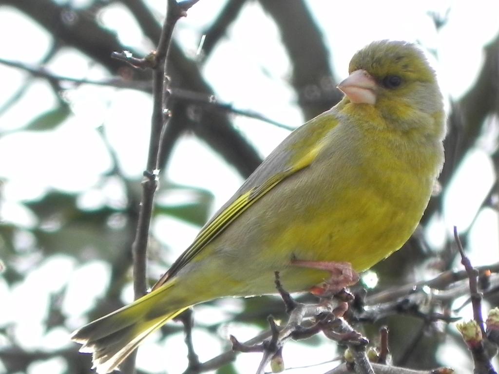 Grünfink(männlich)