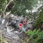 Junge Grünfinken