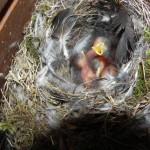 Hausrotschwanz drei Tage alt