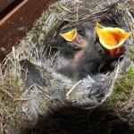 Hausrotschwanz sieben Tage alt