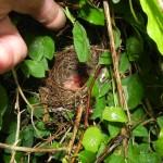 Mönchsgrasmücken Jungvögel