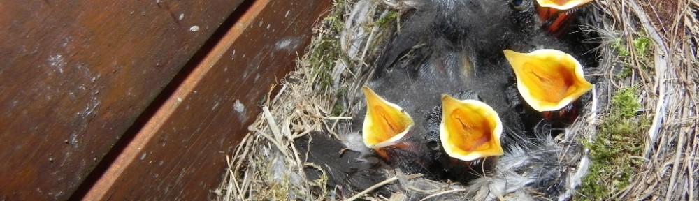 Hausrotschwanz acht Tage alt