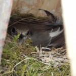 Fliegenschnäpper auf Nest