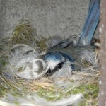 Blaumeismutter in Nest