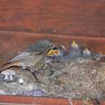 Hausrotschwanzweibchen beim Füttern
