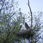 Fischreiher auf Nest