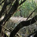 Schwarzschwan auf Nest