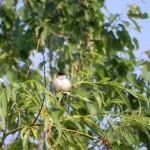 Mönchsgrasmücke (männlich)
