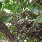 Türkentaube Jungvogel in Nest
