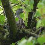 Ringeltaube auf Nest