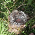 Grünfink(Jungvögel vier Tage alt)