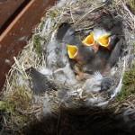 Rotschwanzjunge vier Tage alt