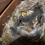 Rotschwanzjunge fünf Tage alt