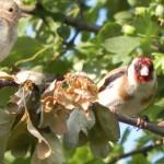 Stieglitz Alt und Jungvogel